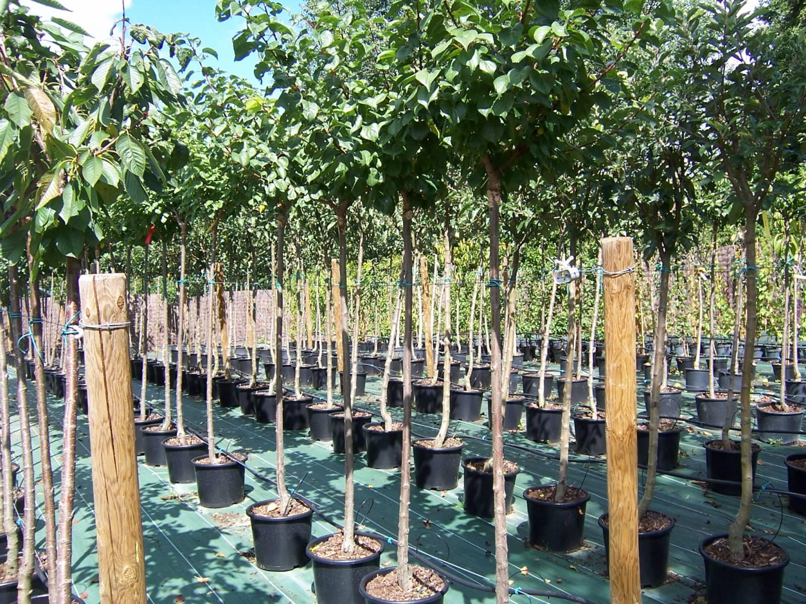 acheter arbres fruitiers en tige libourne p pini re saint sulpice et cameyrac arbres. Black Bedroom Furniture Sets. Home Design Ideas