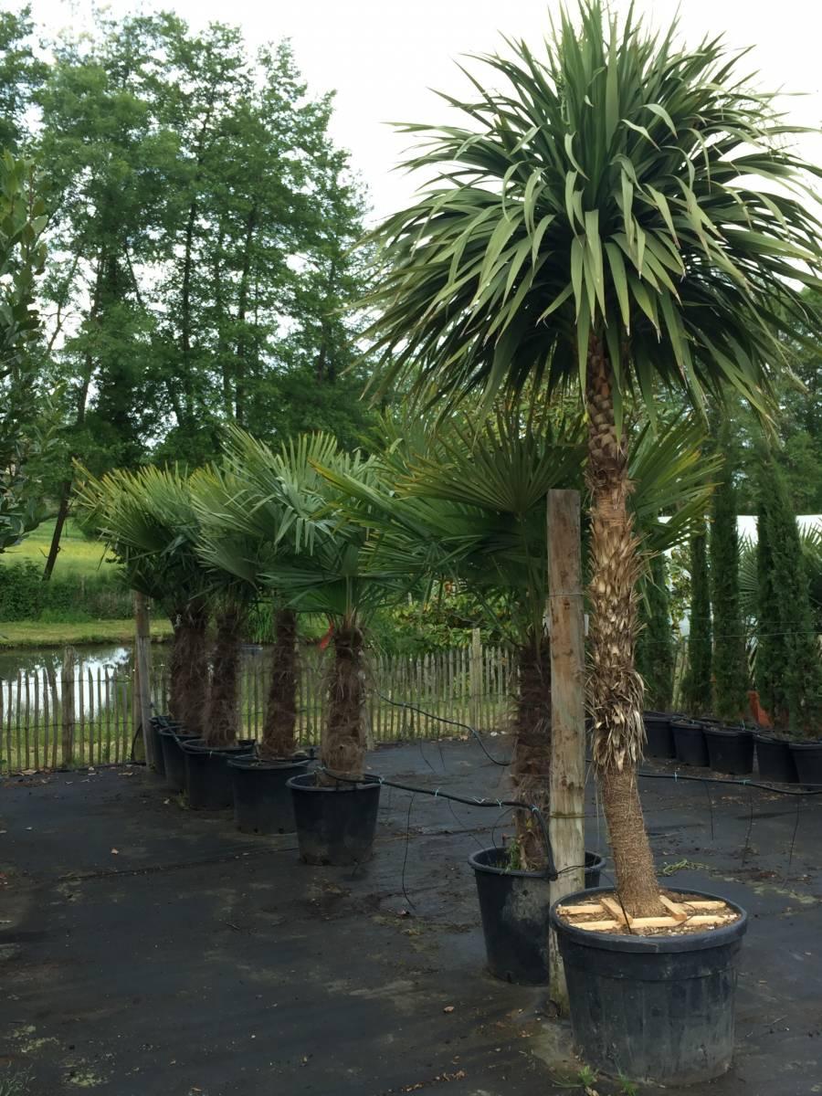 vente de palmiers toutes tailles libourne p pini re. Black Bedroom Furniture Sets. Home Design Ideas