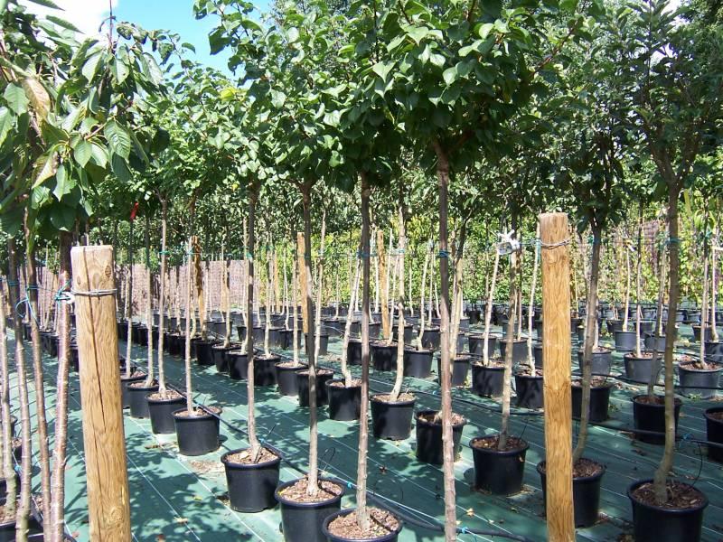 P pini re st sulpice et cameyrac arbres fruitiers et plantes libourne p pini res de linas - Arbres d ornement a feuillage persistant ...