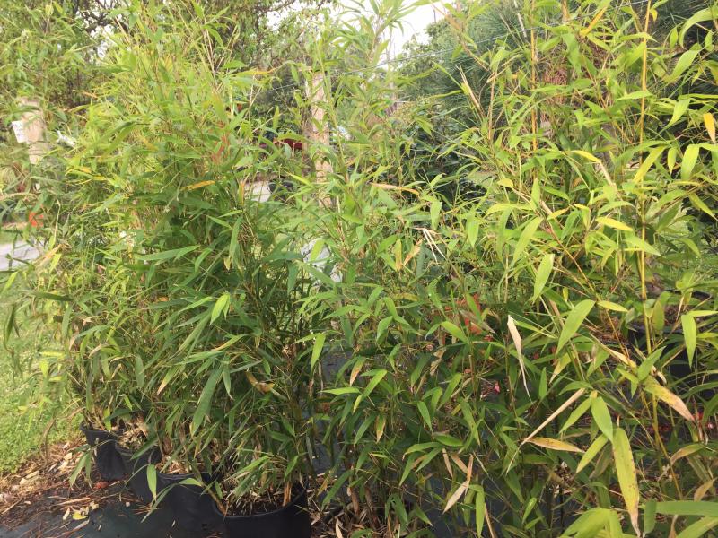 achat de bambou pour haie libourne p pini re saint